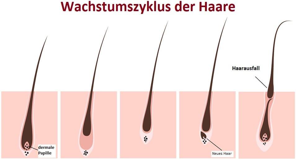Haarfollikel nach der Haartransplantation - Wachstumszyklus der Haare